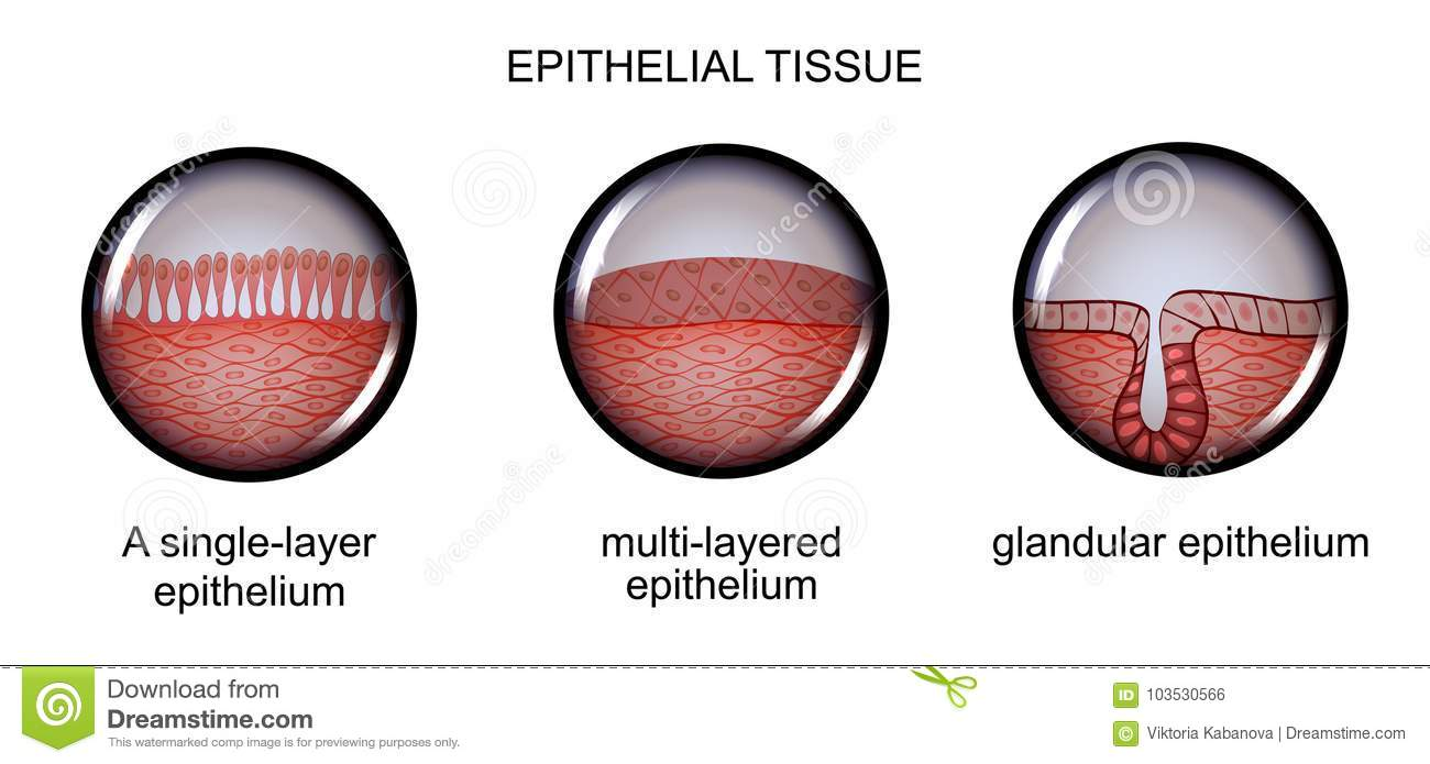 Epithelial Tissue. Types Of Epithelium. Stock Vector - Illustration ...
