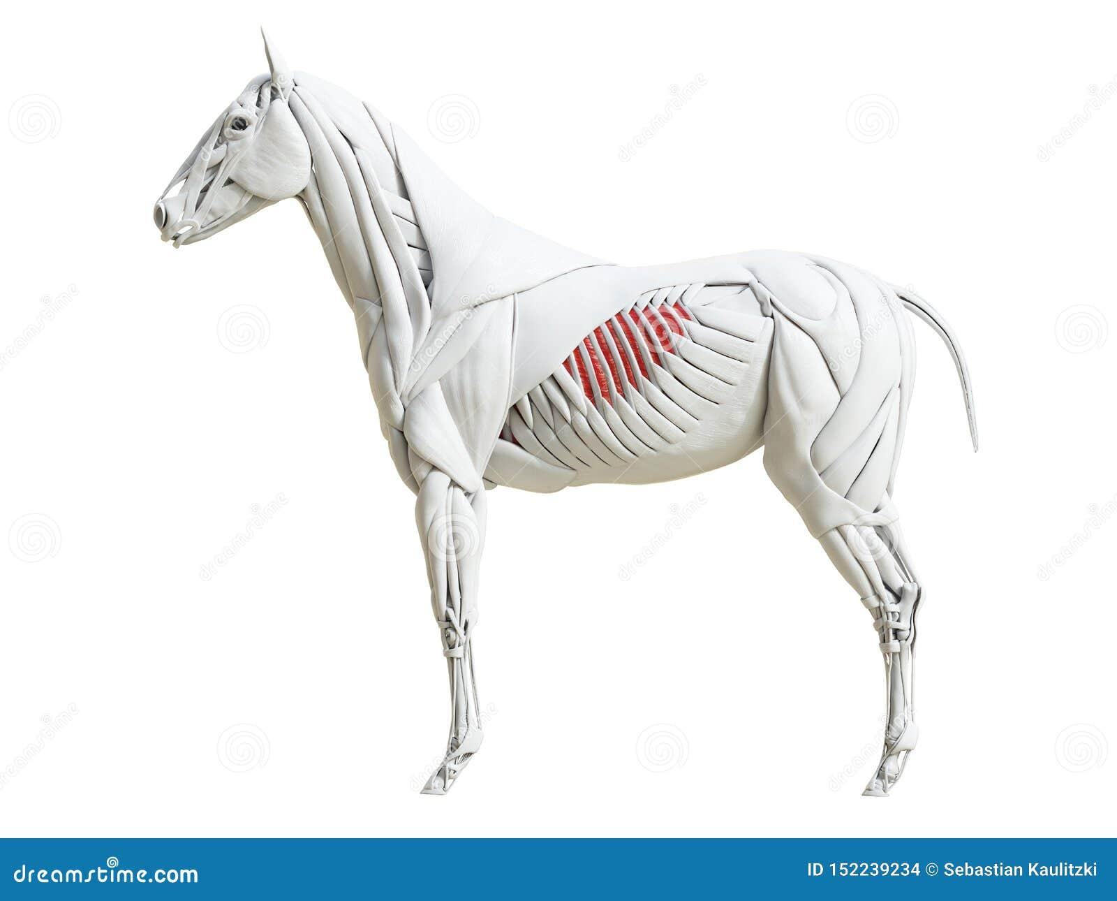 Equine анатомия мышцы - интеркостальное externi