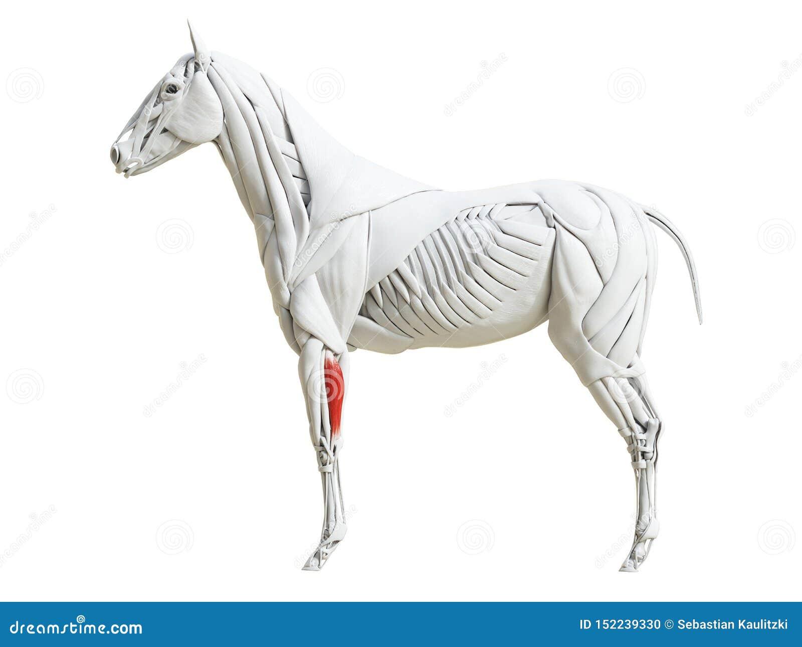 Equine анатомия мышцы - мышца боковой части ulnar