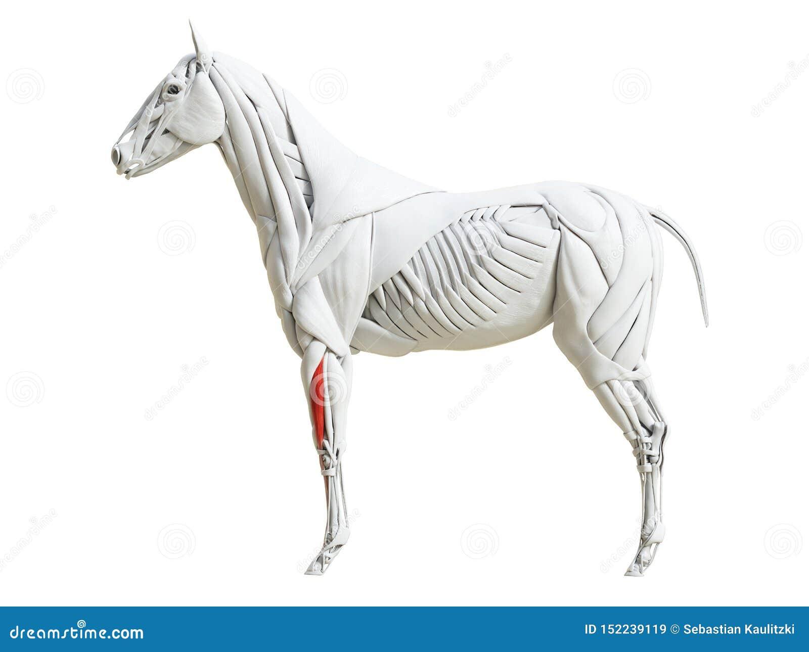 Equine анатомия мышцы - общий цифровой разгибатель
