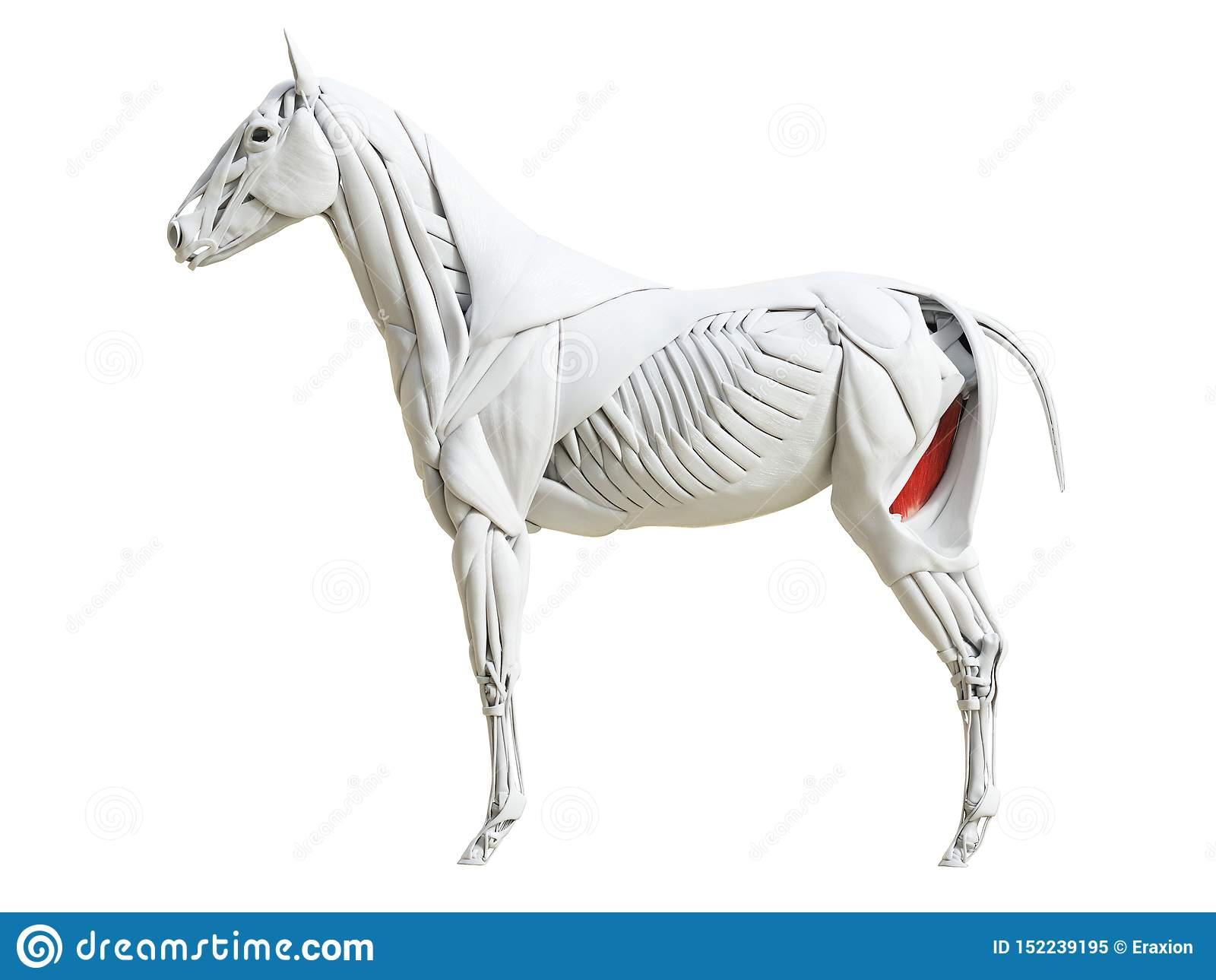Equine анатомия мышцы - gracilis