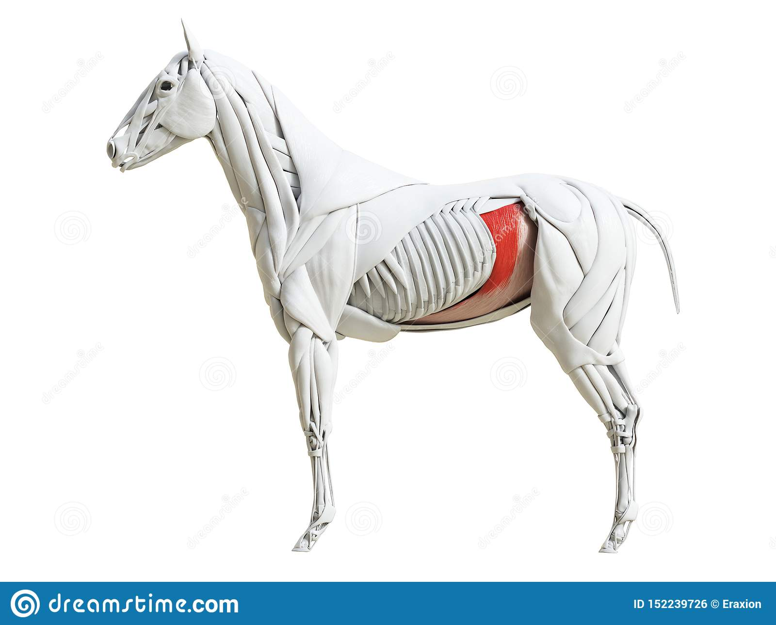 Equine анатомия мышцы - transversus abdominis