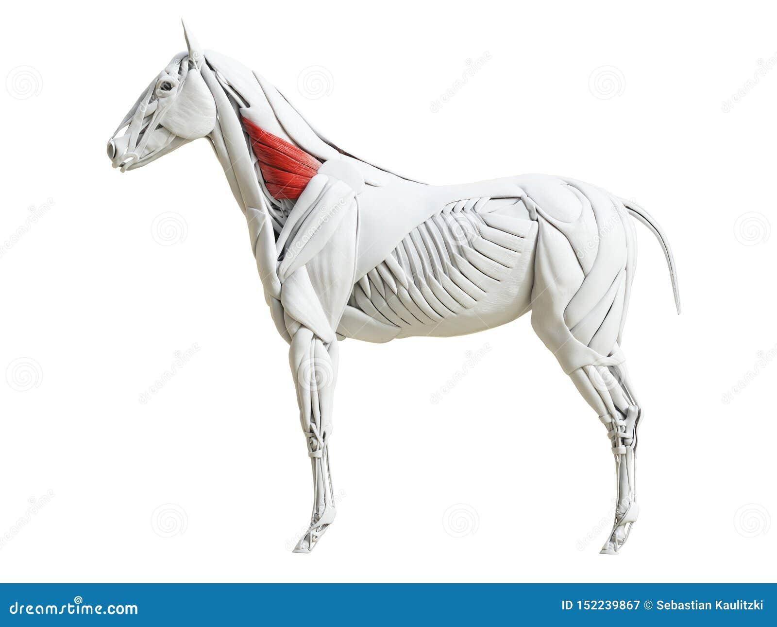 Equine анатомия мышцы - ventralis serratus