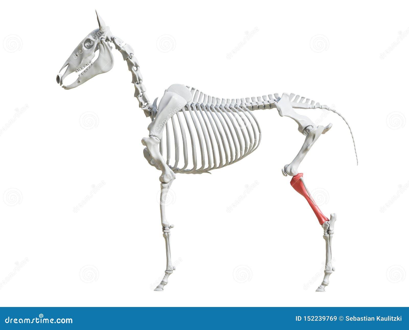 Equine скелет - большая кость