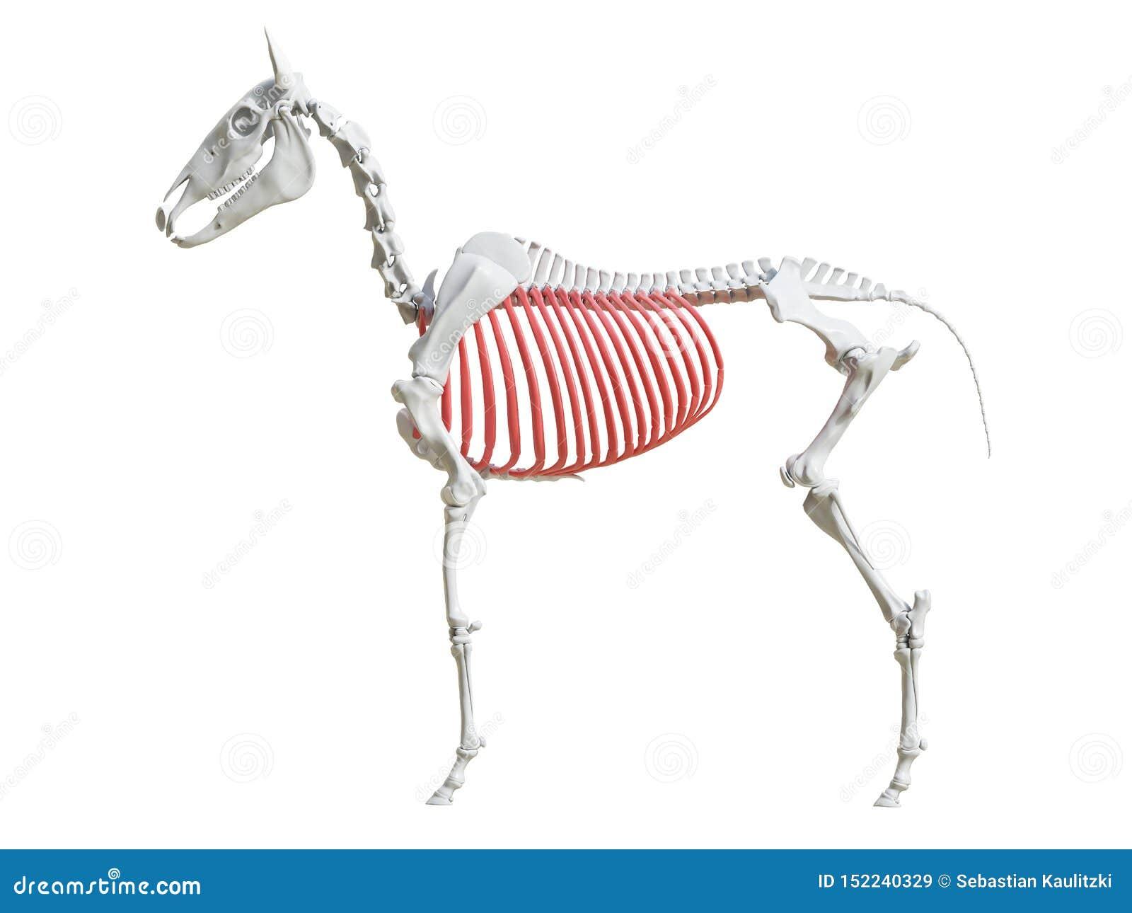 Equine скелет - нервюры