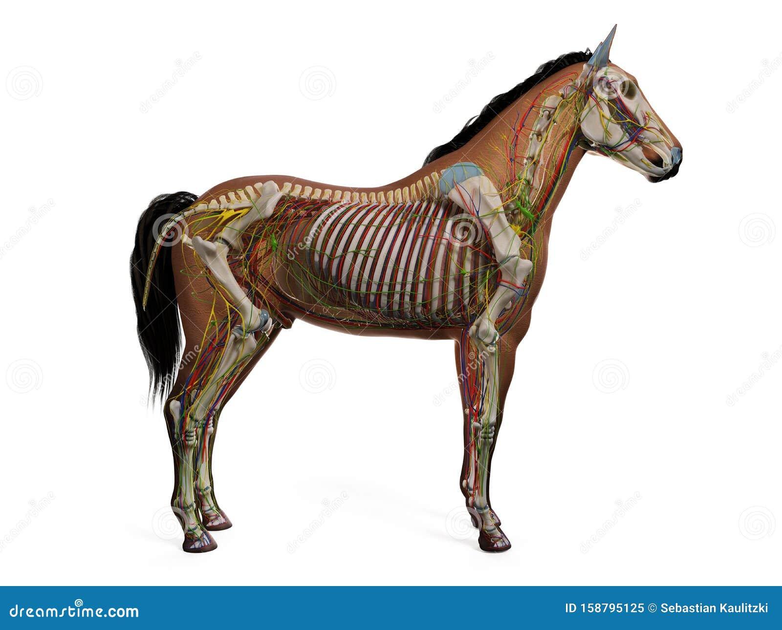 The Equine Anatomy Stock Illustration Illustration Of Organs 158795125