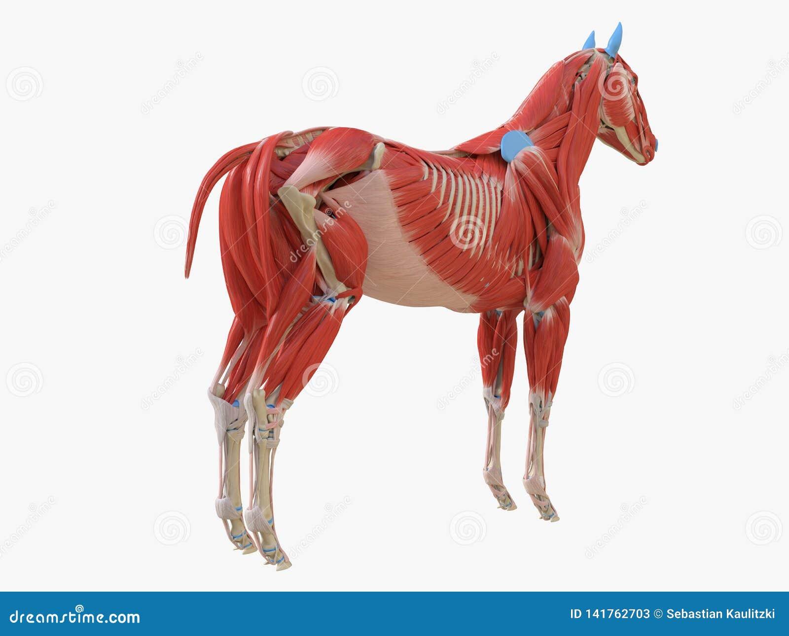 Equine анатомия мышцы