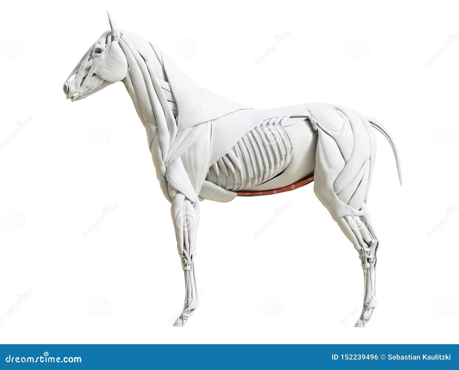 Equine mięsień anatomia - rectus abdominis