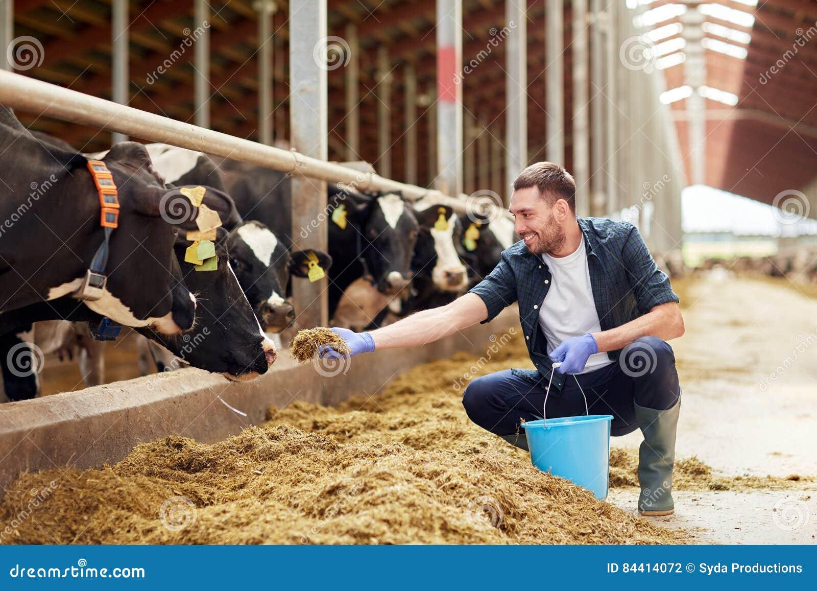 Equipaggi le mucche d alimentazione con fieno in stalla sull azienda lattiera