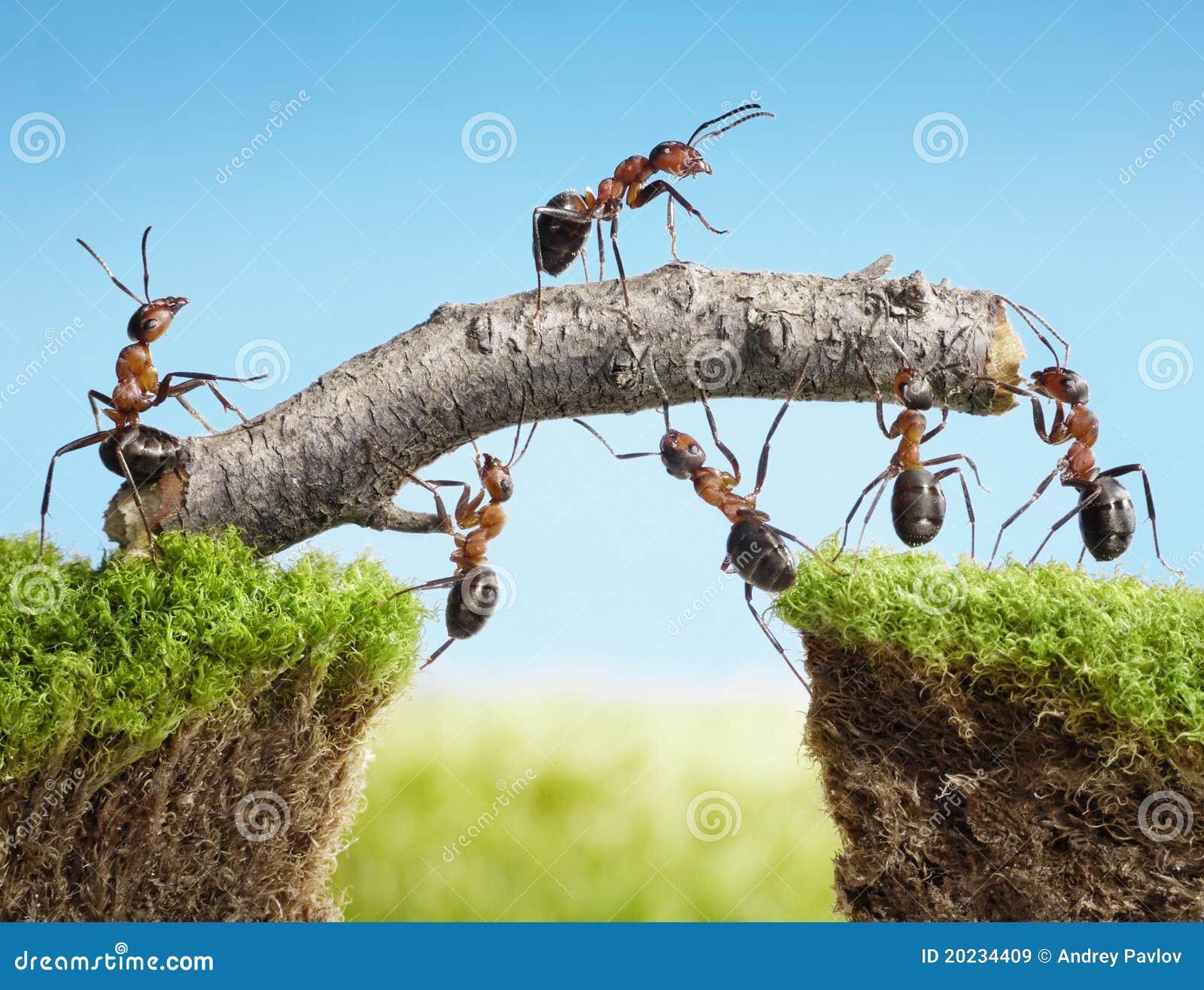 Equipe das formigas que constroem a ponte, trabalhos de equipa