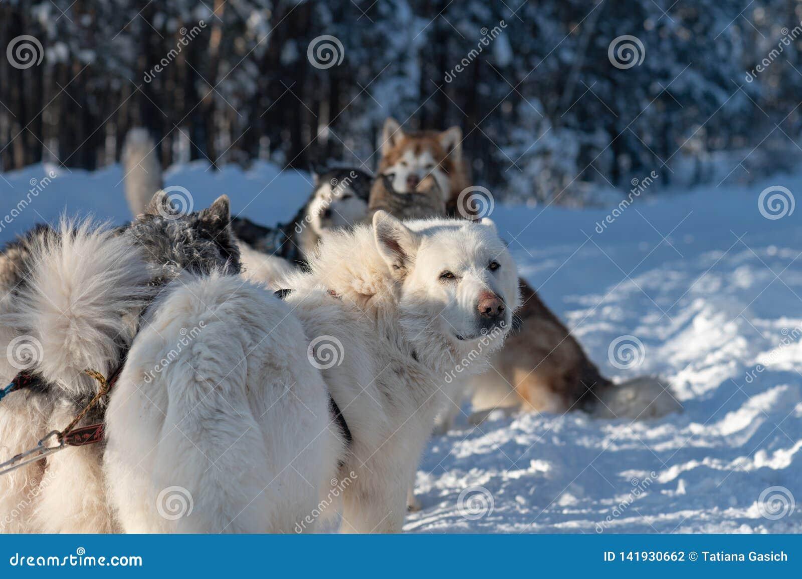 A equipe do cão de trenó está relaxando na neve