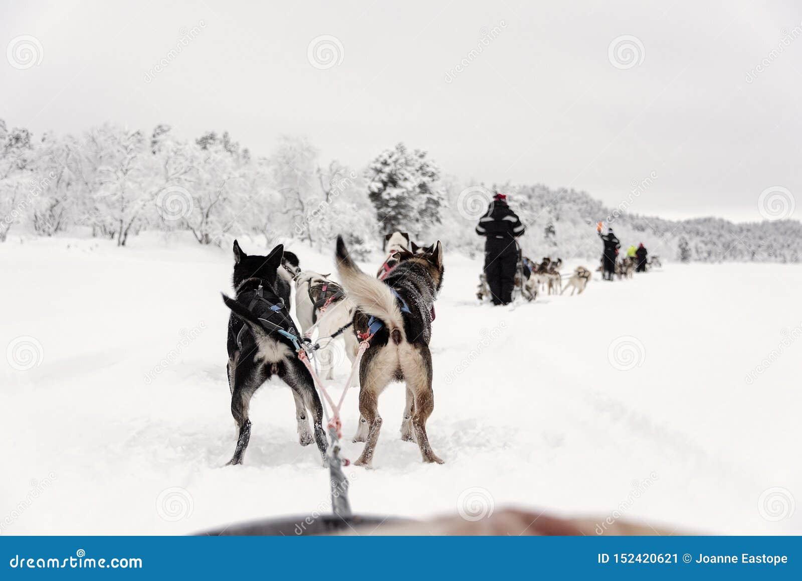 Equipe dos cães de puxar trenós que correm, vista do trenó