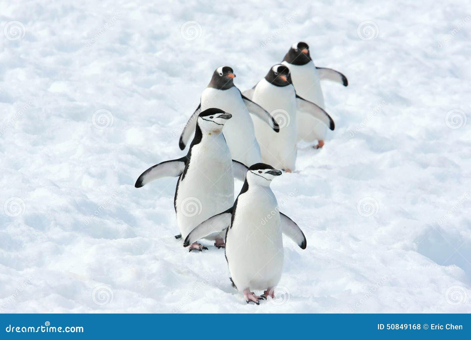 Equipe dos pinguins