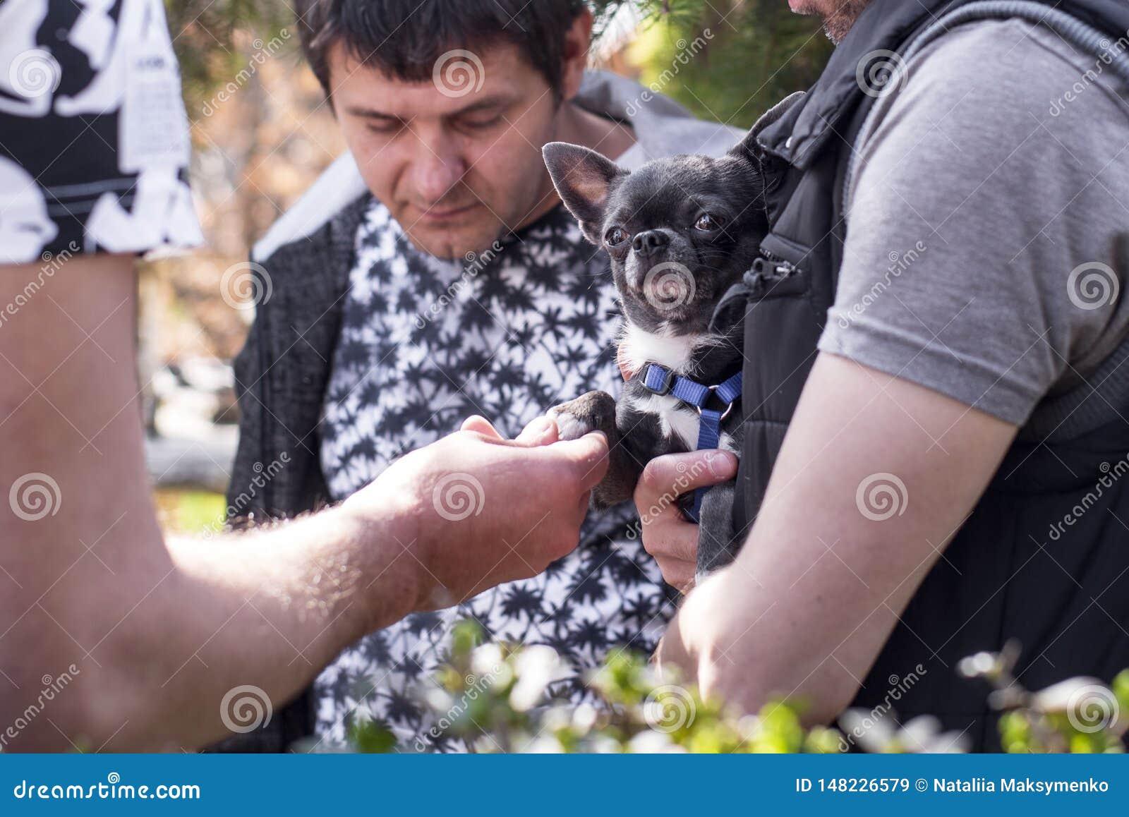 Equipe guardar um cachorrinho pequeno em suas m?os Um homem está guardando um cão preto pequeno