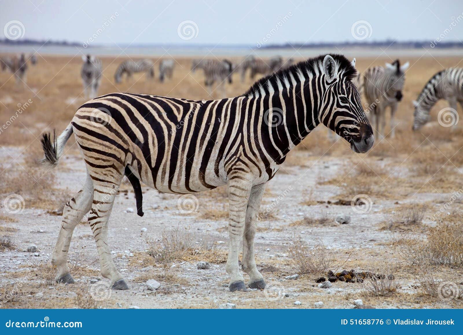 Size zebra penis Average Penis
