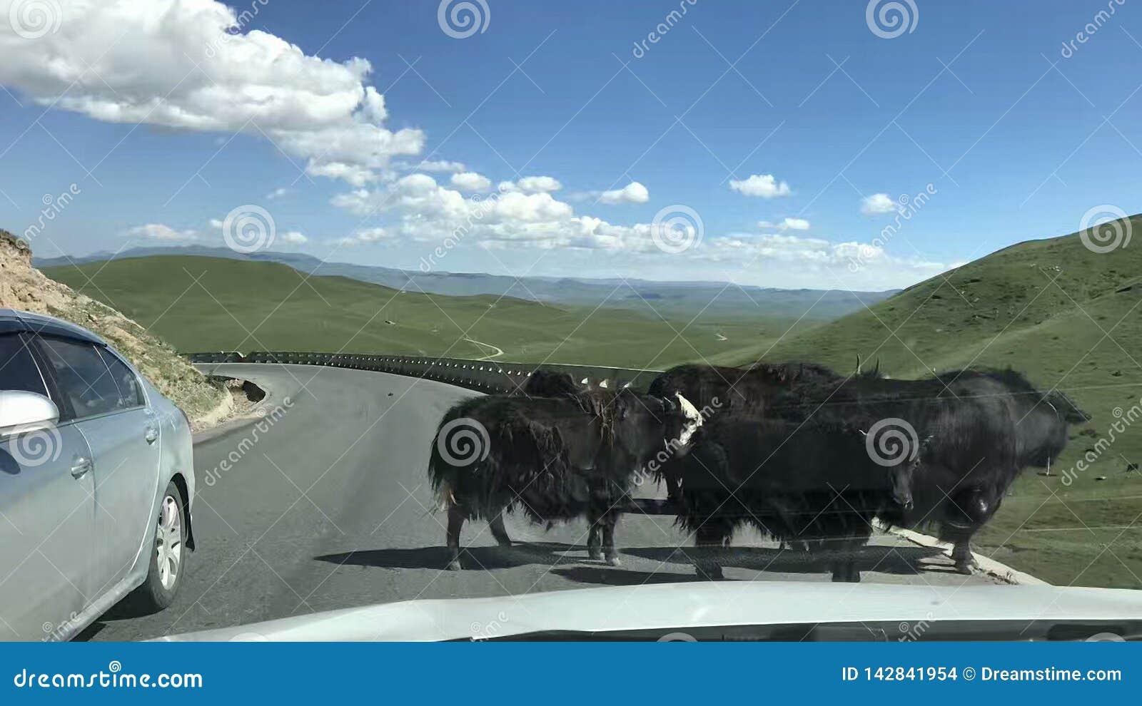 Er zijn verscheidene yaks voor ons in de eindeloze prairie