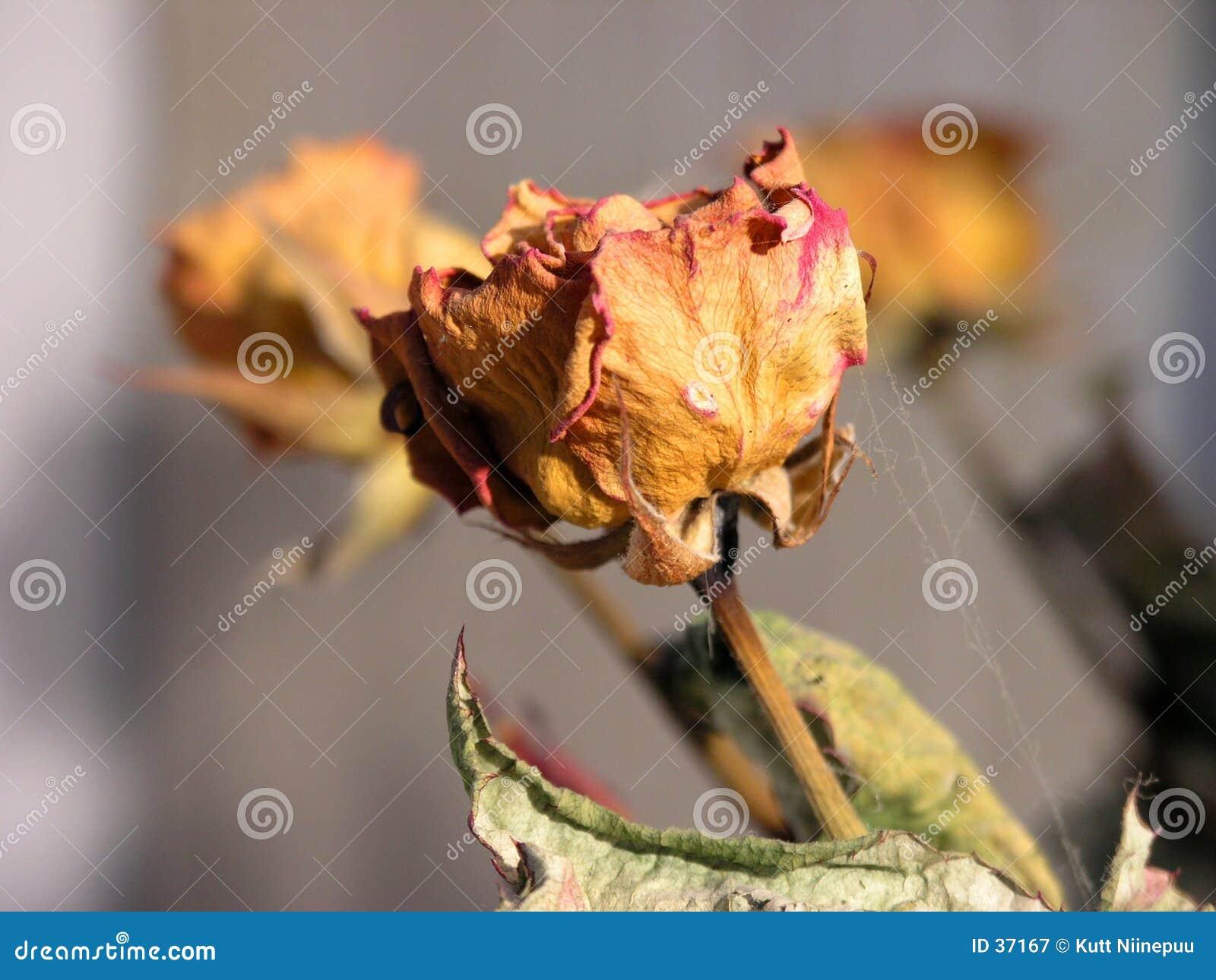 Era uma rosa?