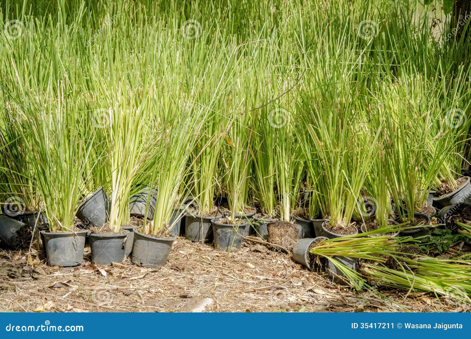 erba del vetiver vetiveria zizanioides immagine stock
