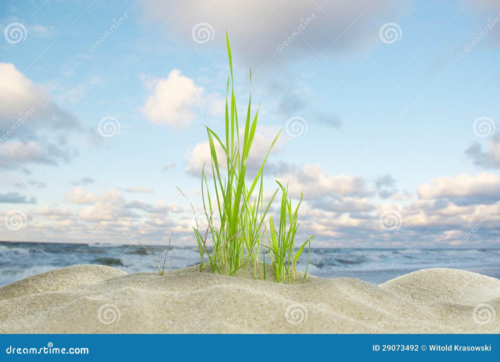Erba e mare della duna
