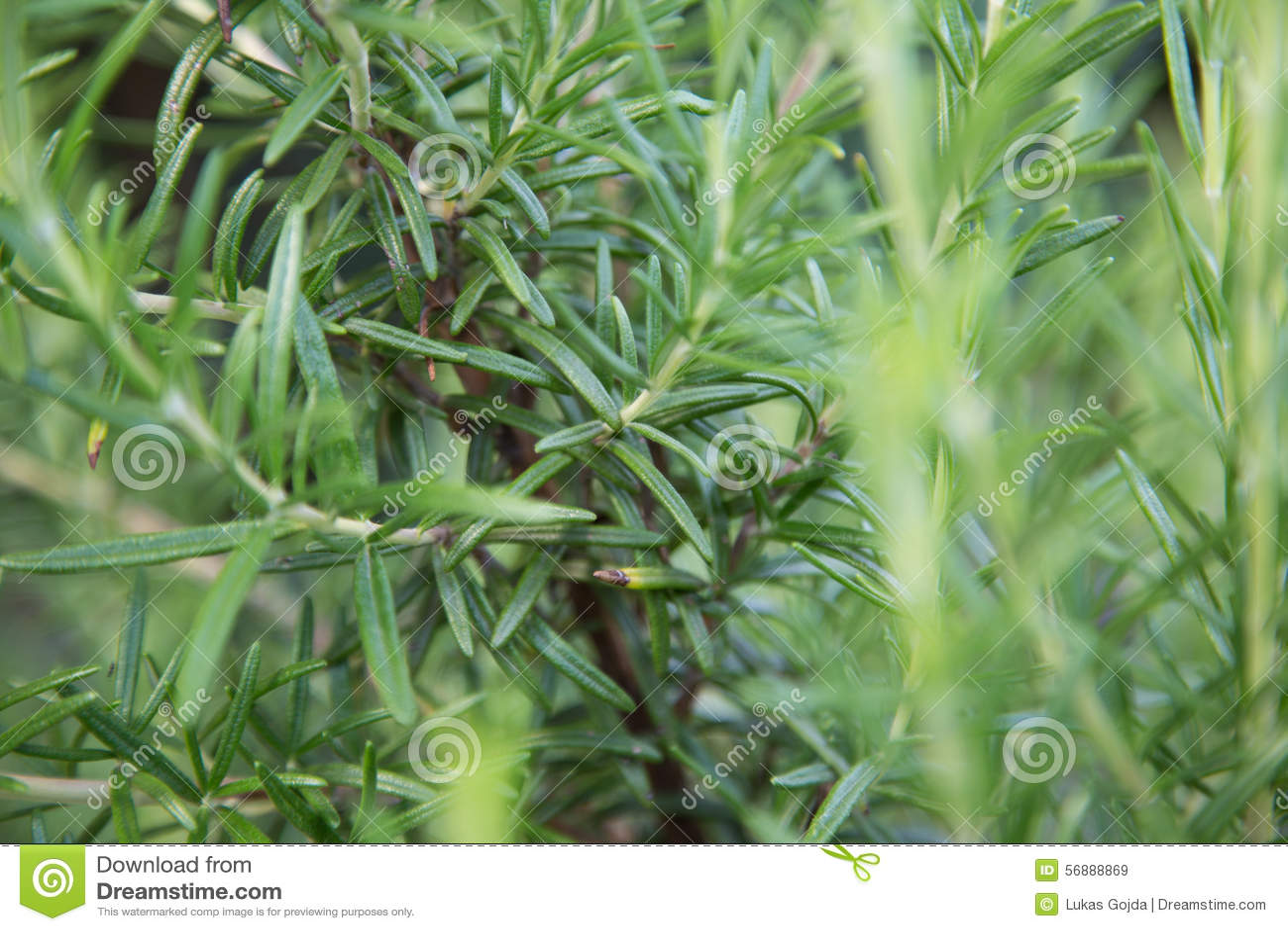 Erba fresca della Rosemary