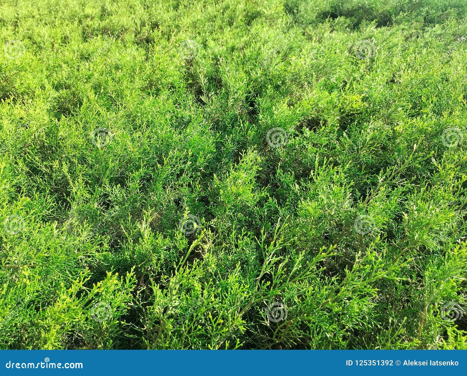 Erba Moss Texture In Summer Garden Degli Aghi Del Pino Fotografia