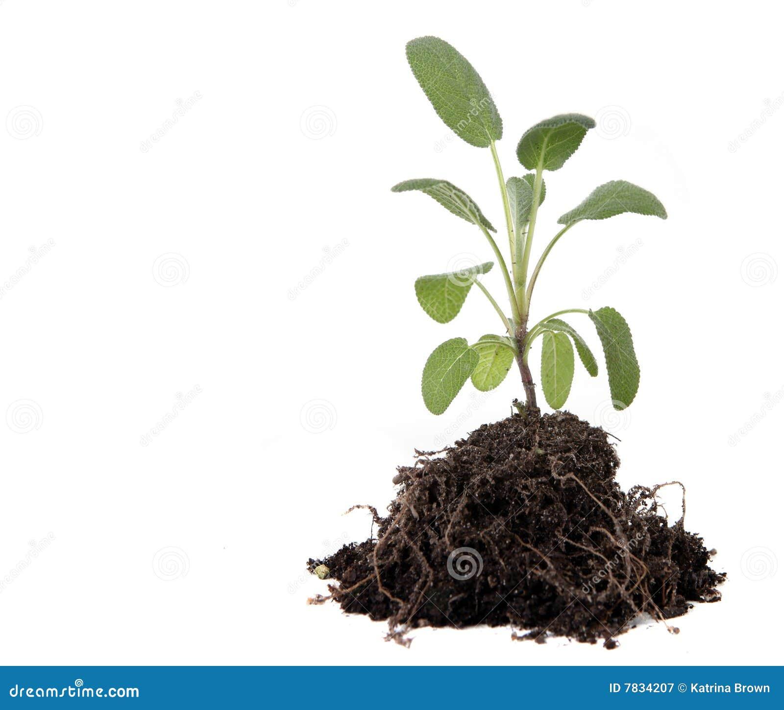 Erba prudente verde che pianta con le expo delle radici e for Pianta del pavimento con dimensioni