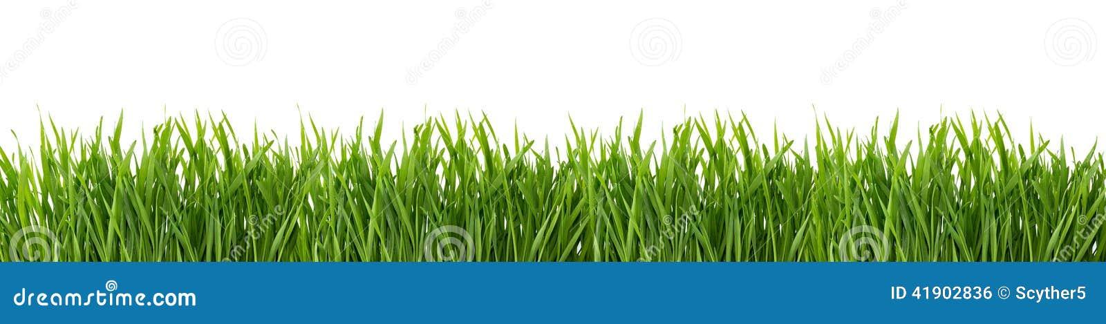 Erba verde isolata su priorità bassa bianca