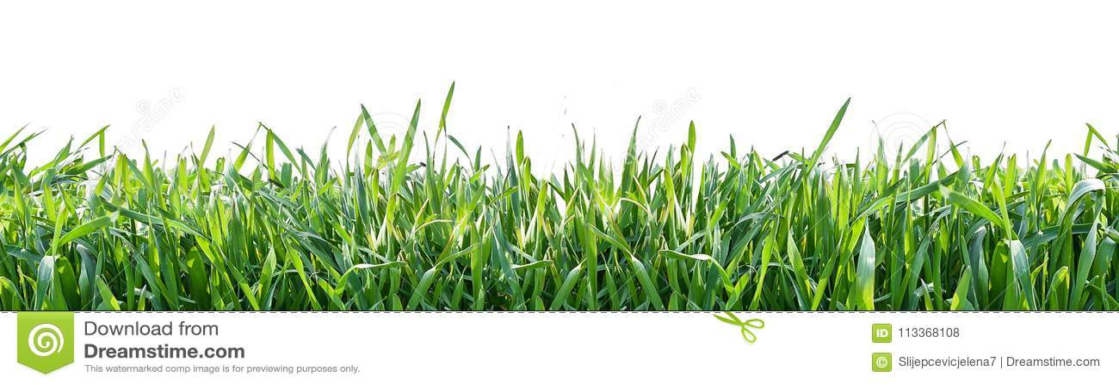 Erba verde isolata su priorità bassa bianca Sfondo naturale