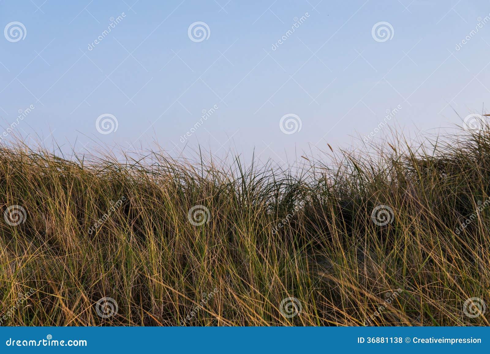 Download Erbe sulla duna fotografia stock. Immagine di paesaggio - 36881138