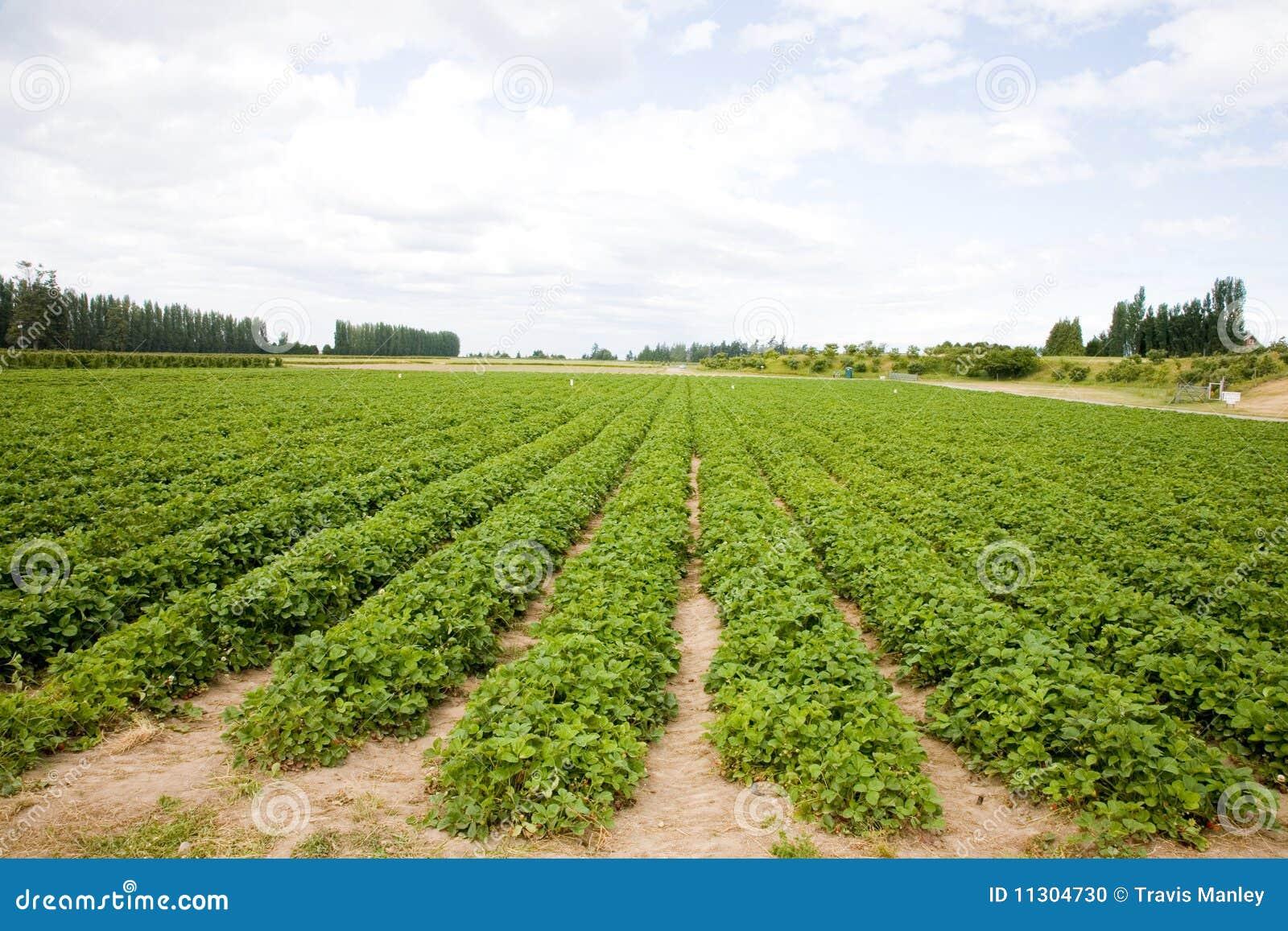 Erdbeere-Feld