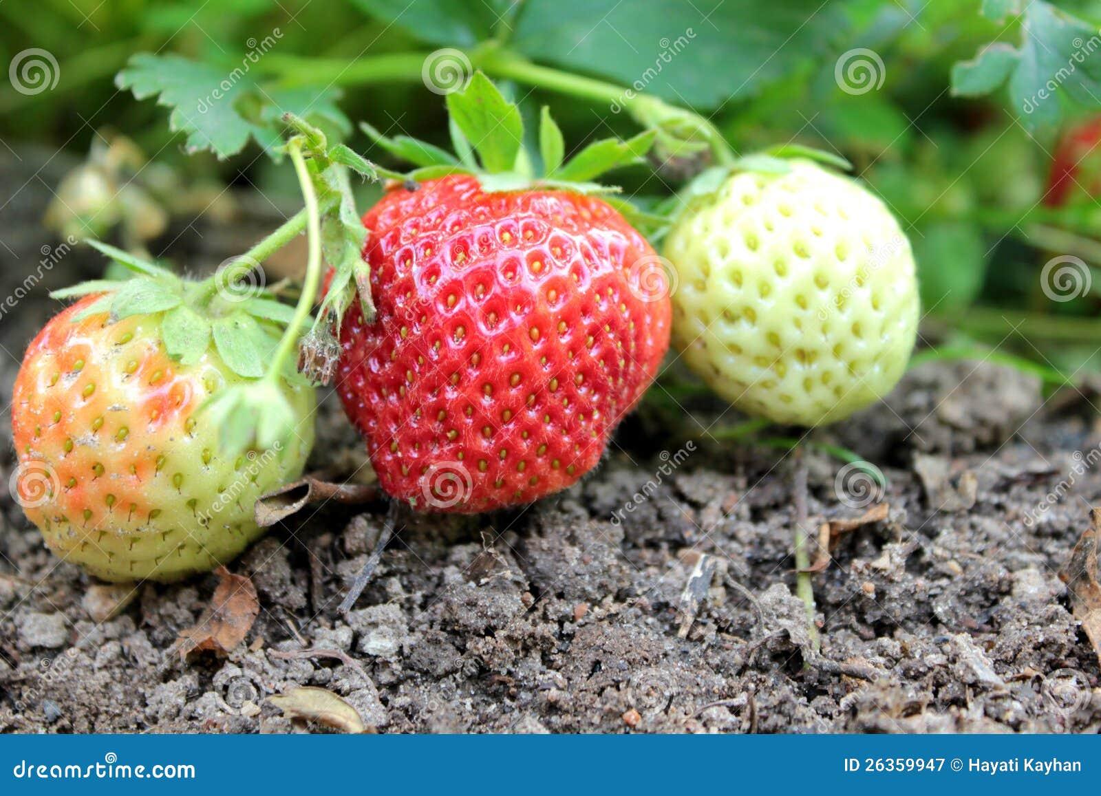 Erdbeeren auf dem Garten