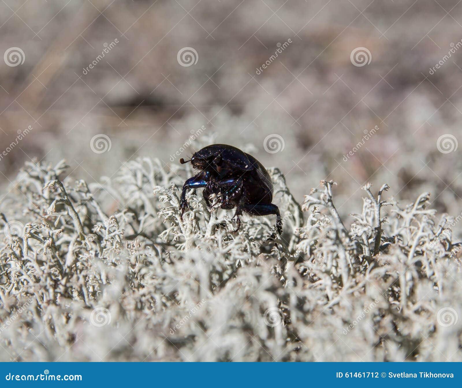 Erde-Bohren-Scarabäus-Käfer