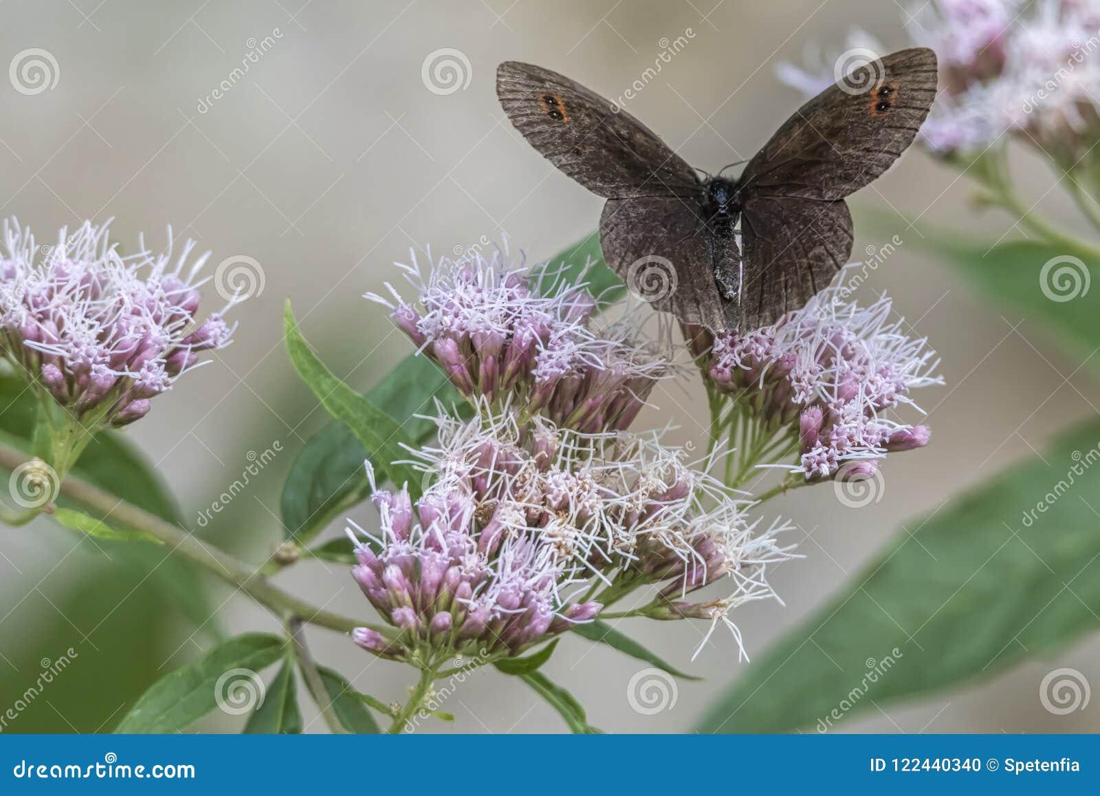 Erebia aethiopsfjäril på blomman
