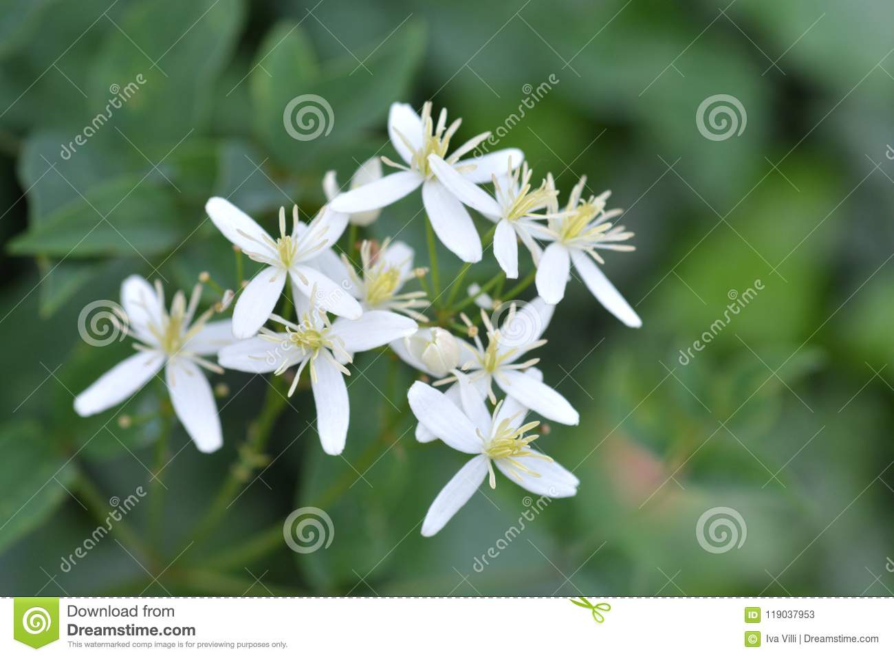 Erect Clematis Stock Image Image Of Outdoors Flower 119037953