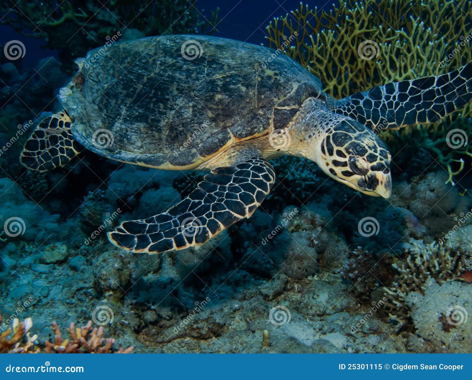 Eretmochelys hawksbill χελώνα imbricata