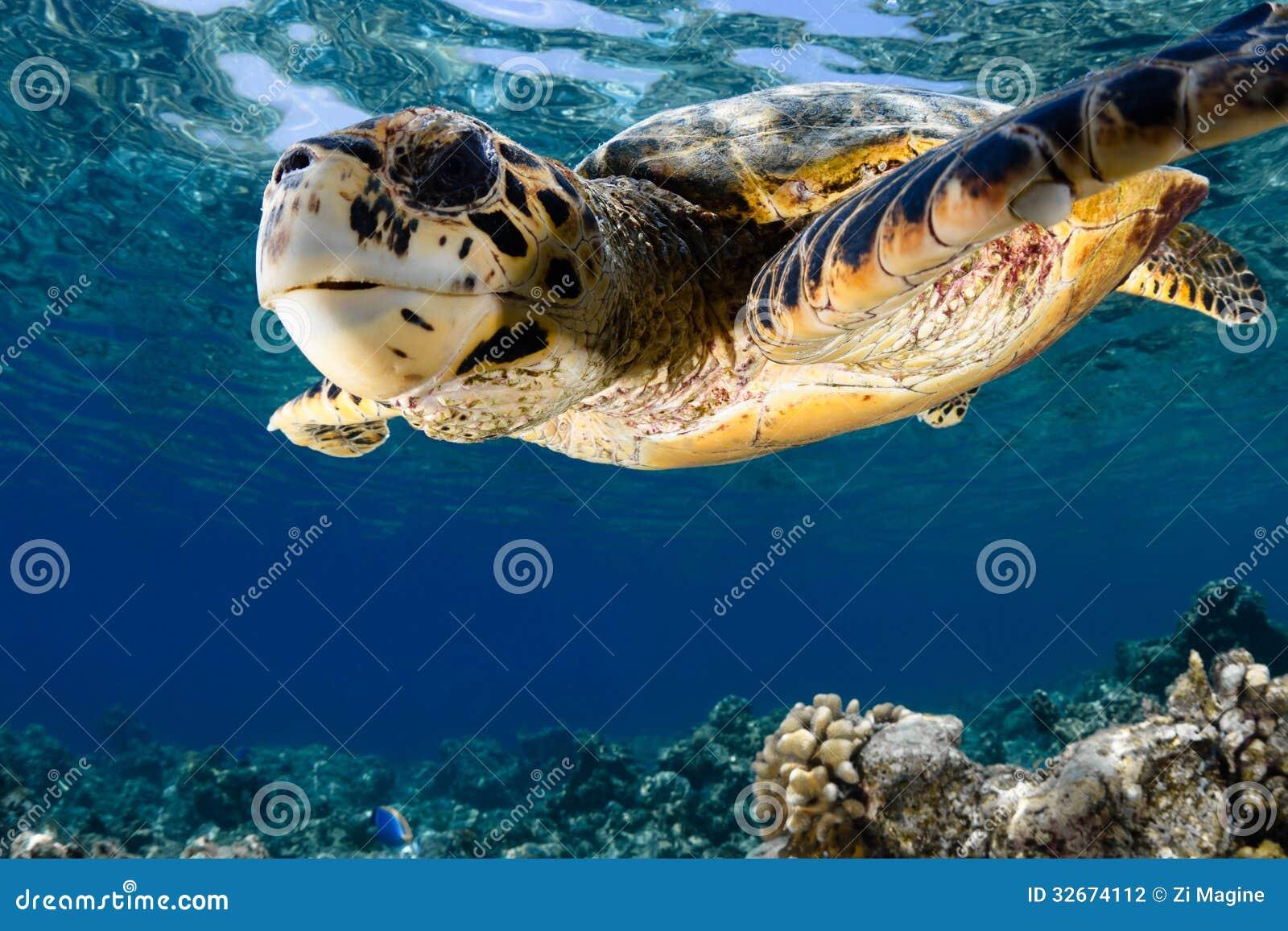 Eretmochelys imbricata - hawksbill denny żółw