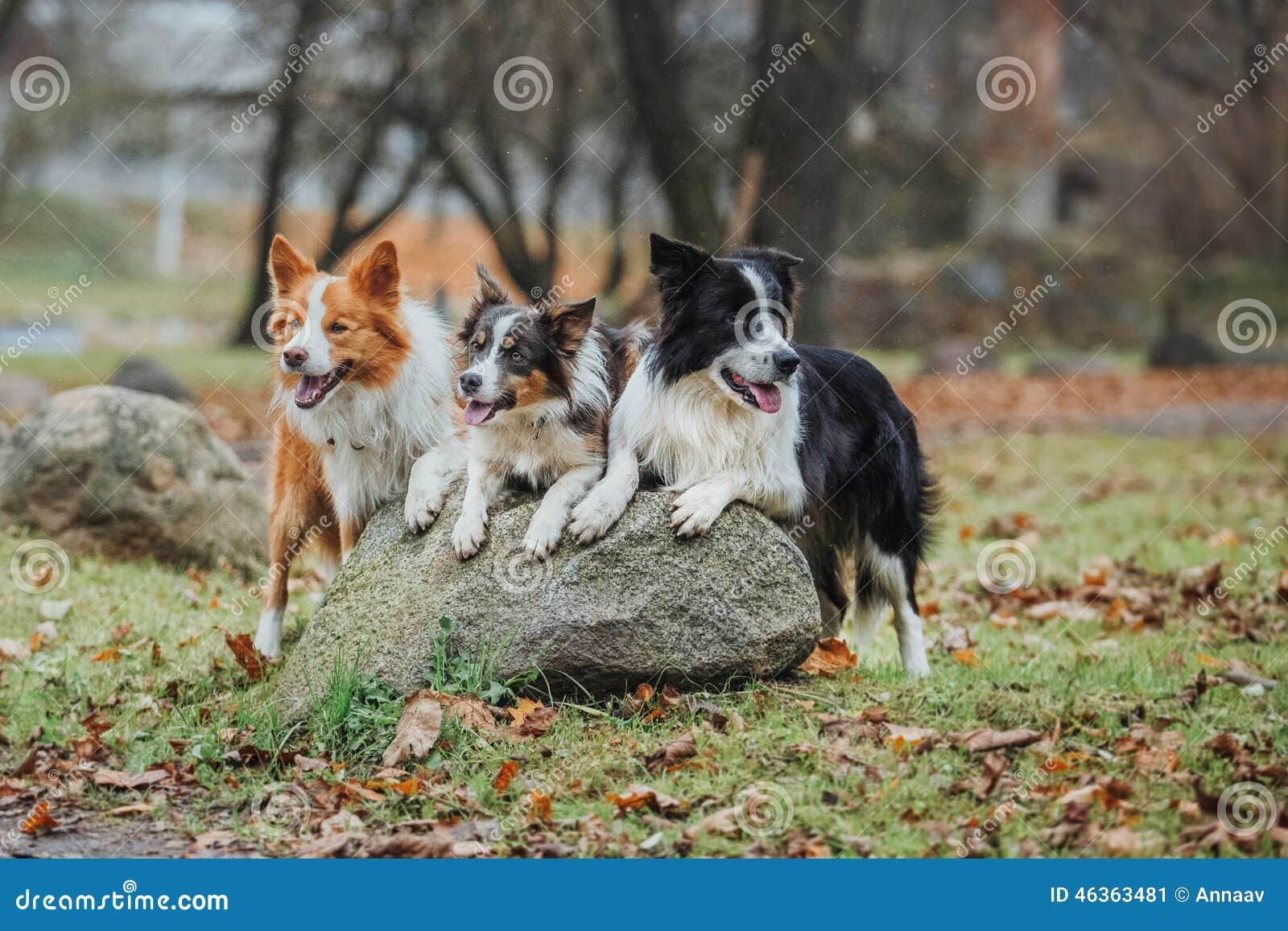 Ergebene Hunderasse border collie Porträt, Herbst, Natur, Tricks, bildend aus