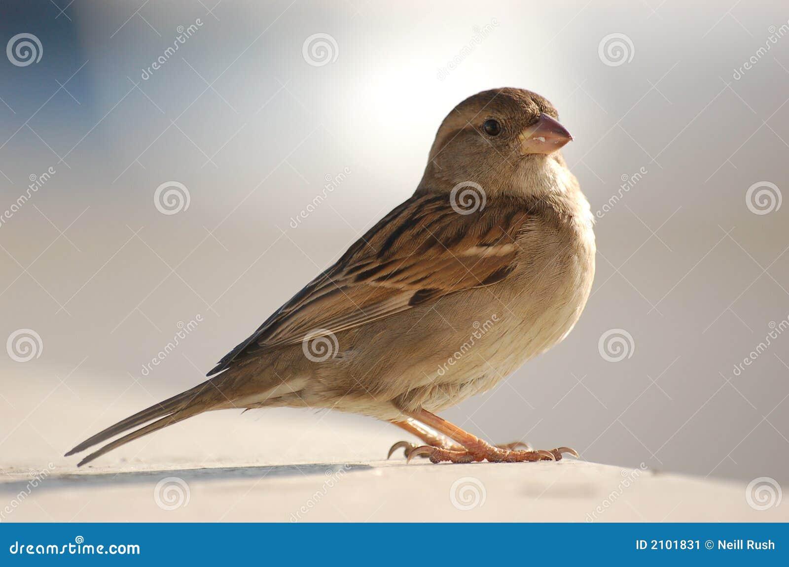 Eric the Sparrow
