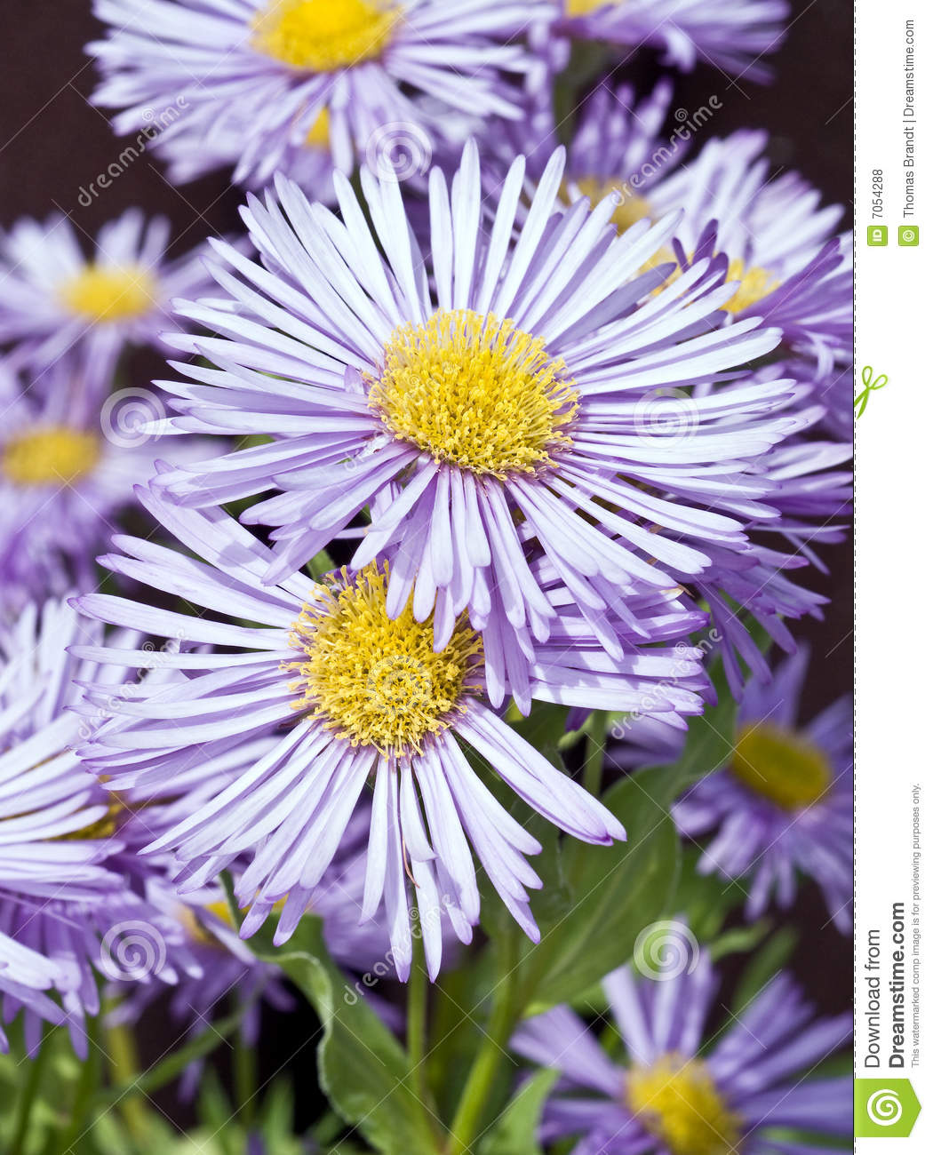 Lavender blue coloured flowers in bloom stock photo image of closeup of the nearly double light lavender blue daisy like flowers with showy yellow centers of the erigeron variety prosperity also known as fleabane izmirmasajfo