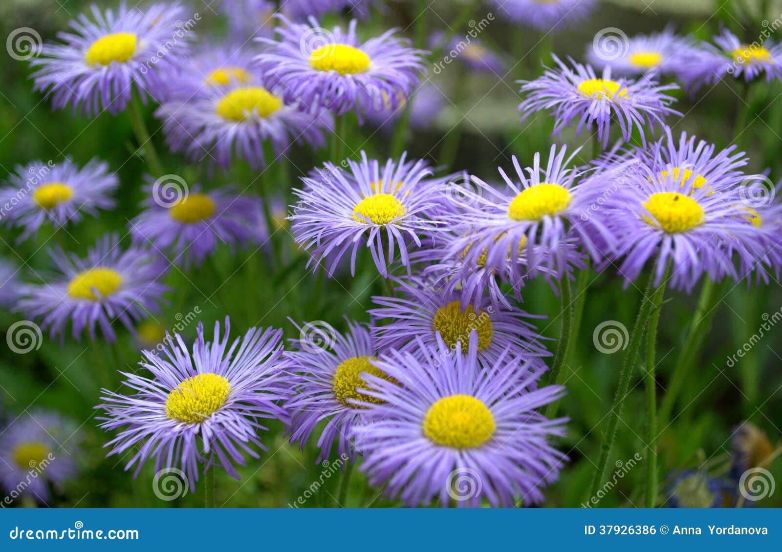 Erigeron Speciosus Flower Close Up Royalty Free Stock ...
