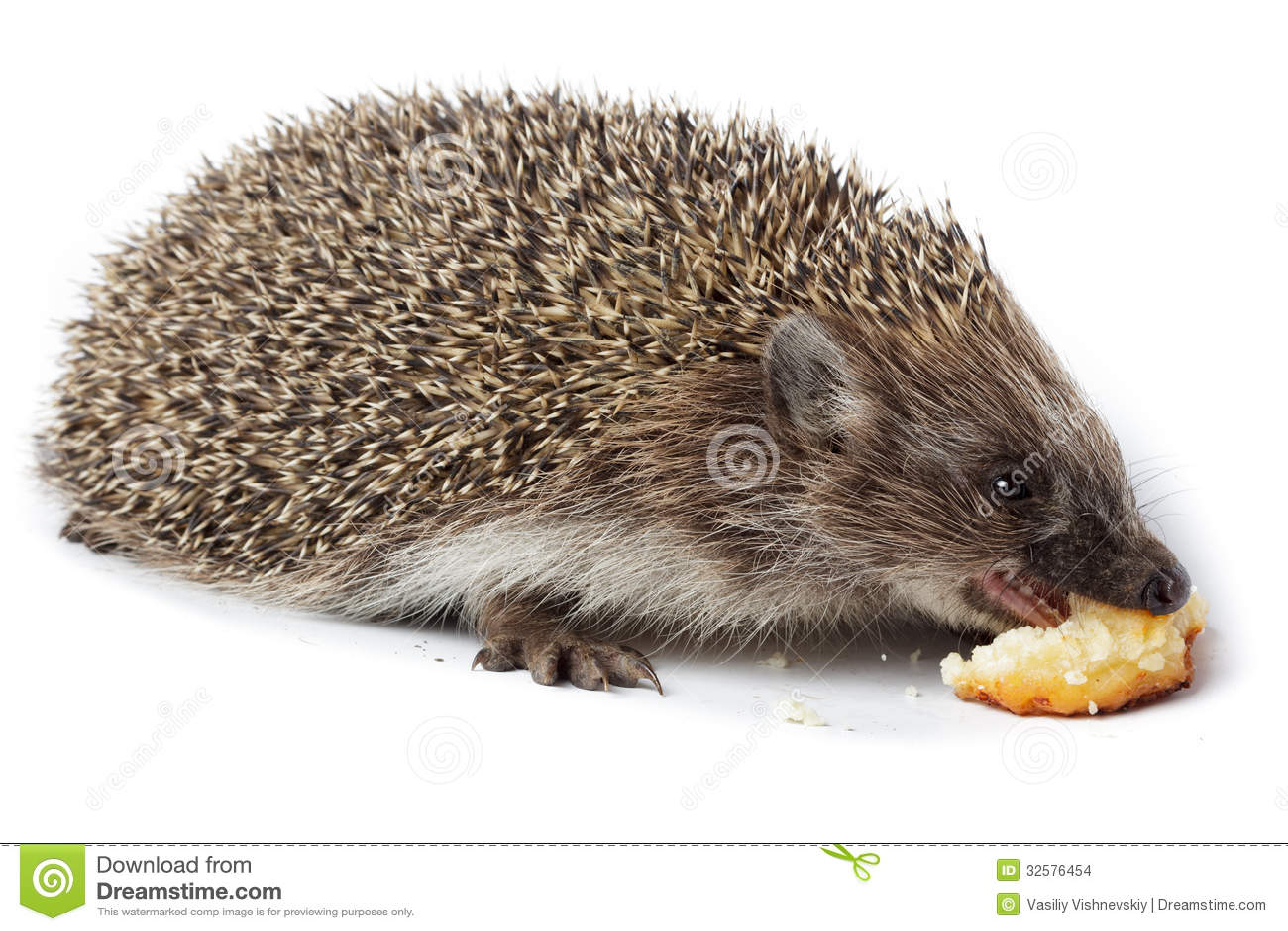 Erinaceus Europaeus, Western European Hedgehog. Stock ...
