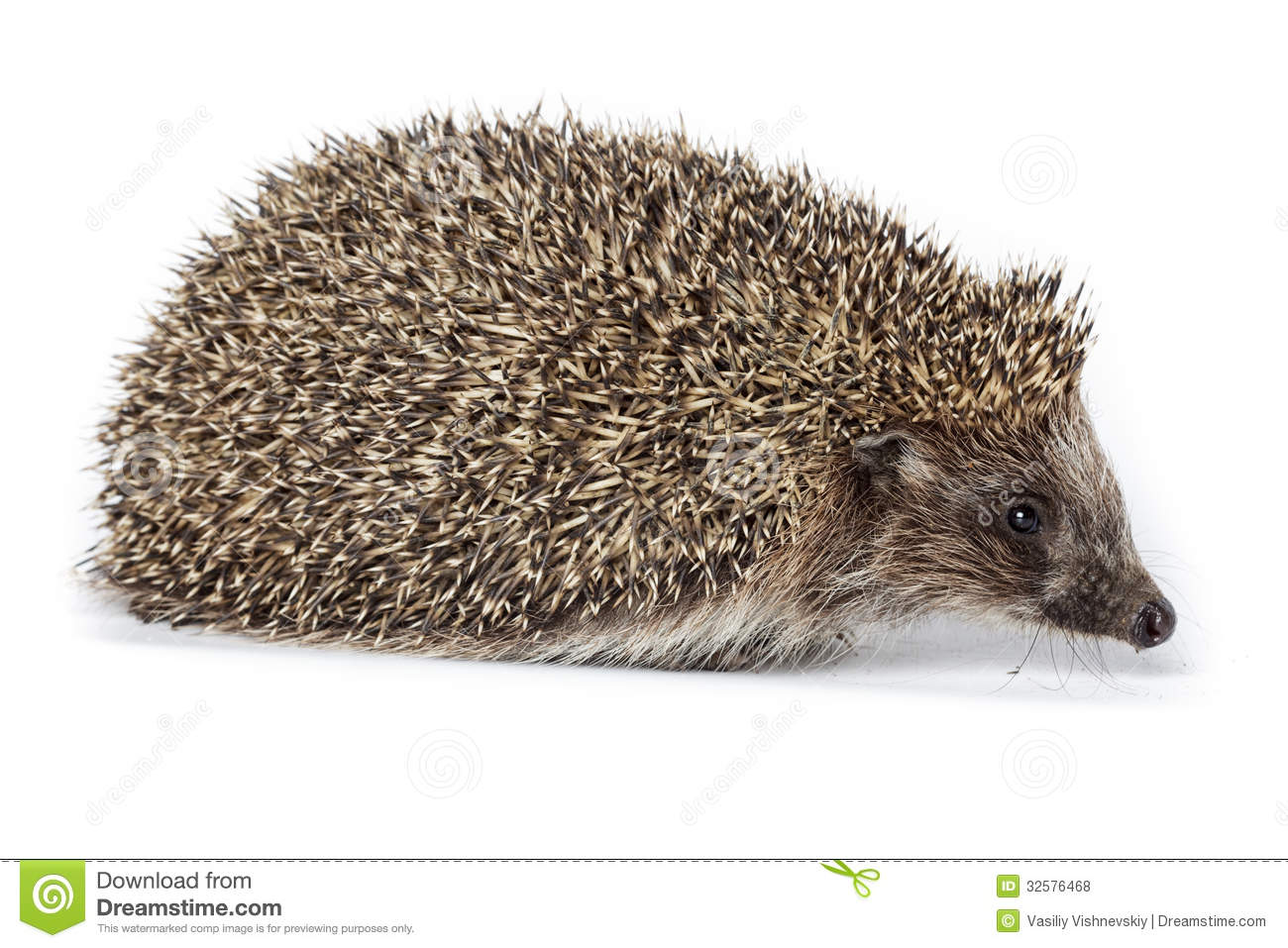 Erinaceus Europaeus, Western European Hedgehog. Royalty Free Stock ...