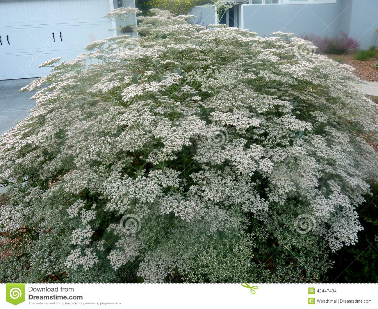 Eriogonum Giganteum St Catherines Lace Stock Photo Image Of