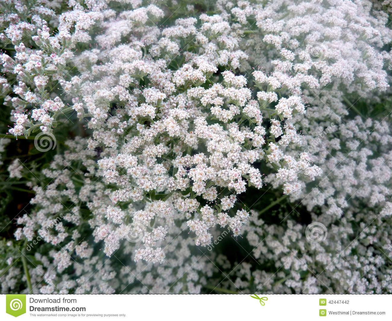 Eriogonum giganteum st catherines lace stock photo image of eriogonum giganteum st catherines lace hemispherical evergreen shrub with oval shaped grey leaves and small white flowers covering the whole bush mightylinksfo