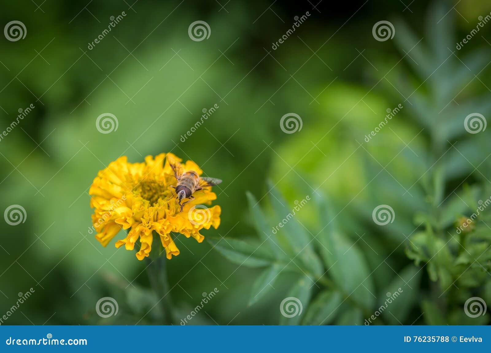 Eristalis tenax (μύγα κηφήνων)