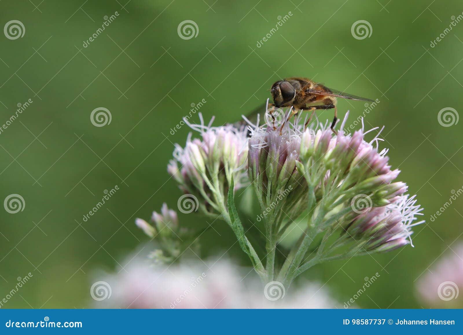 Eristalis tenax, igualmente conhecido como a mosca do zangão, no cânhamo-agrimony