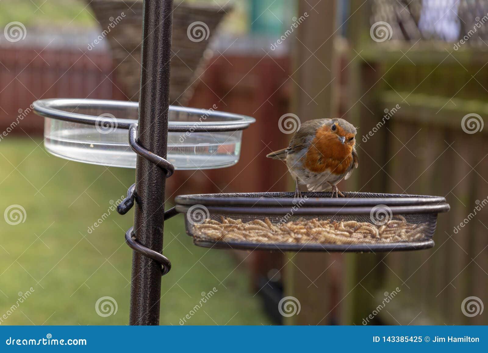 Erithacus Rubecula Робин на фидере птицы сада