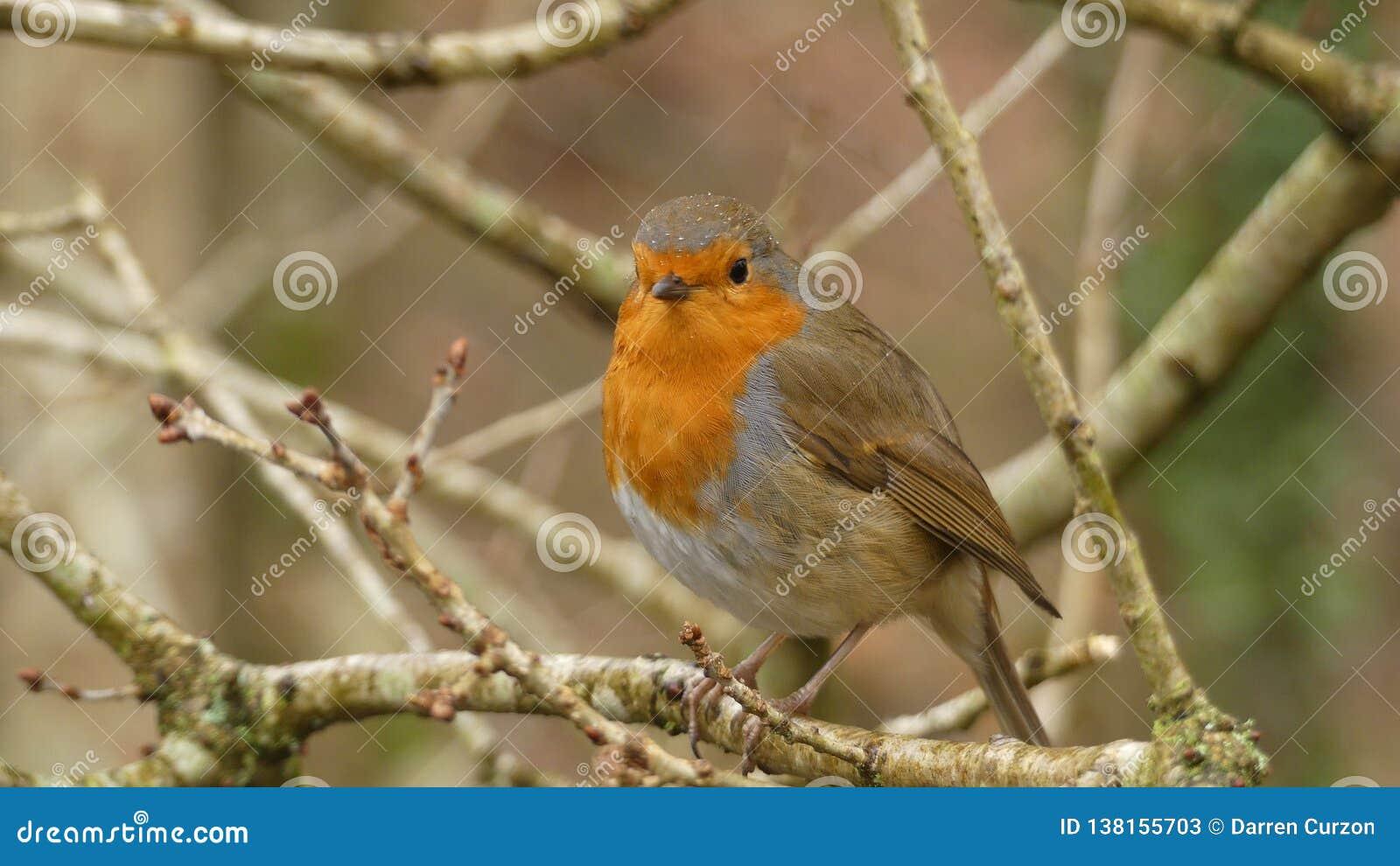 Erithacusrubecula - Europese Robin