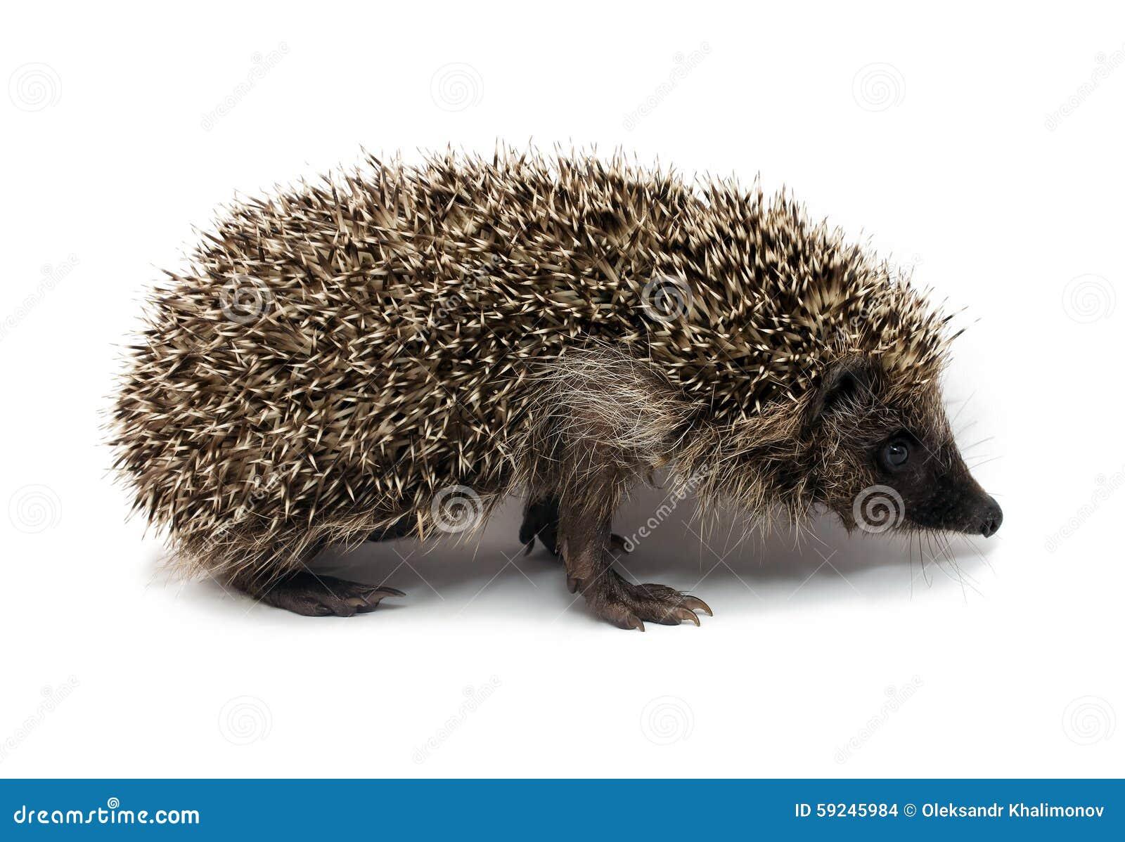 Download Erizo foto de archivo. Imagen de pequeño, hedgehog, fauna - 59245984