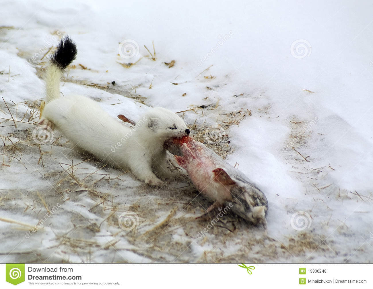 Ermine, in a habitat of dwelling. Russia. Kamchatka.